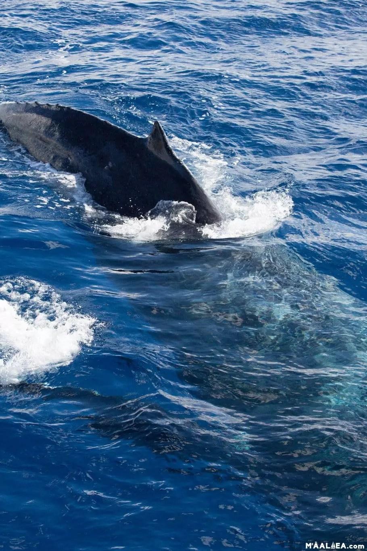 whales Maui