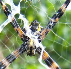 MHA Visitors Guide Cane Spider