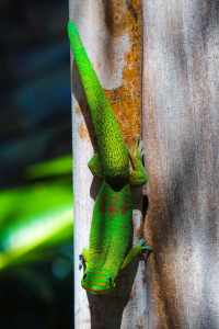 MHA Visitors Guide Gecko