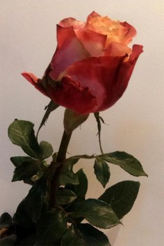 Aafrika roos 1