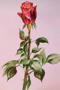 Aafrika roos 4