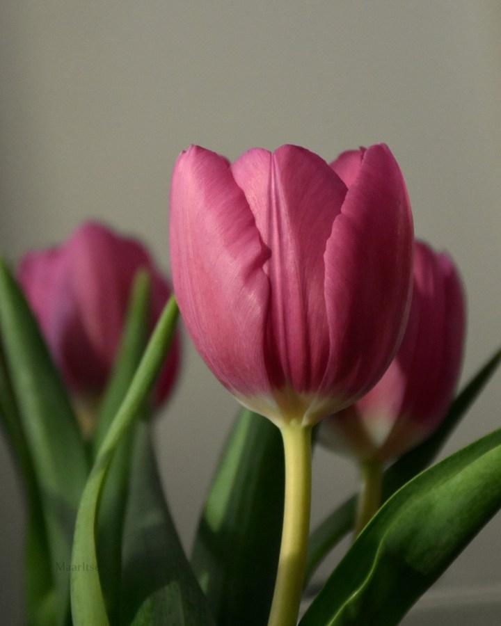 maaritse_vaaleanpunainen_tulppaani