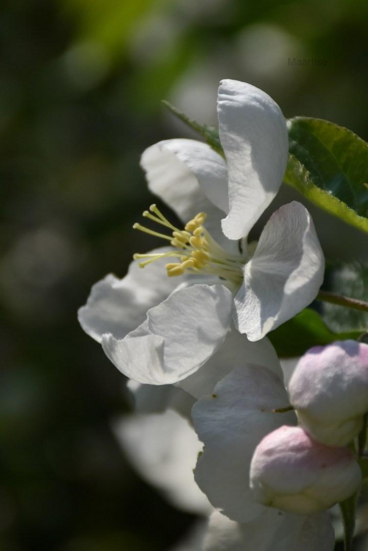 maaritse_flower_of_appletree