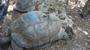 191 year old tortoise