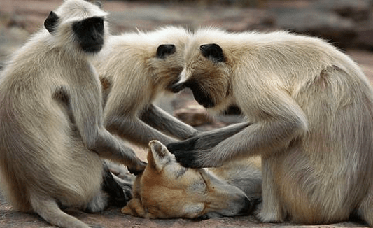 http://www.dailymail.co.uk/news/article-2282274/Care-monkey-massage-Grey-langurs-spotted-treating-wild-dog-grooming-session-India.html