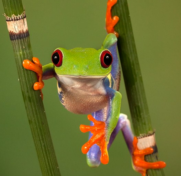 http://www.dailymail.co.uk/news/article-2299468/Tree-frog-shows-incredible-colours-hopping-mad-envy.html