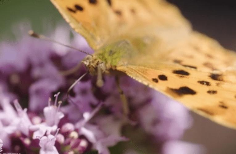 なぜ都市に蝶が必要なのか?
