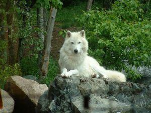 White Alpha Wolf