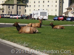 A Herd of Elk lazing about in the cut grass at Mammoth in Yellowstone National park