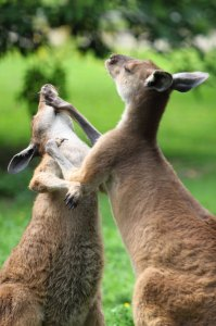 Sometimes, a Kangaroo just needs to box, yo.