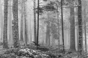 Fog-In-Linconville-Maine-Forest-BW-Mabry-Campbell