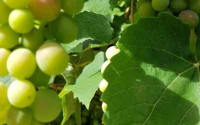 La monodiète et la cure de raisin