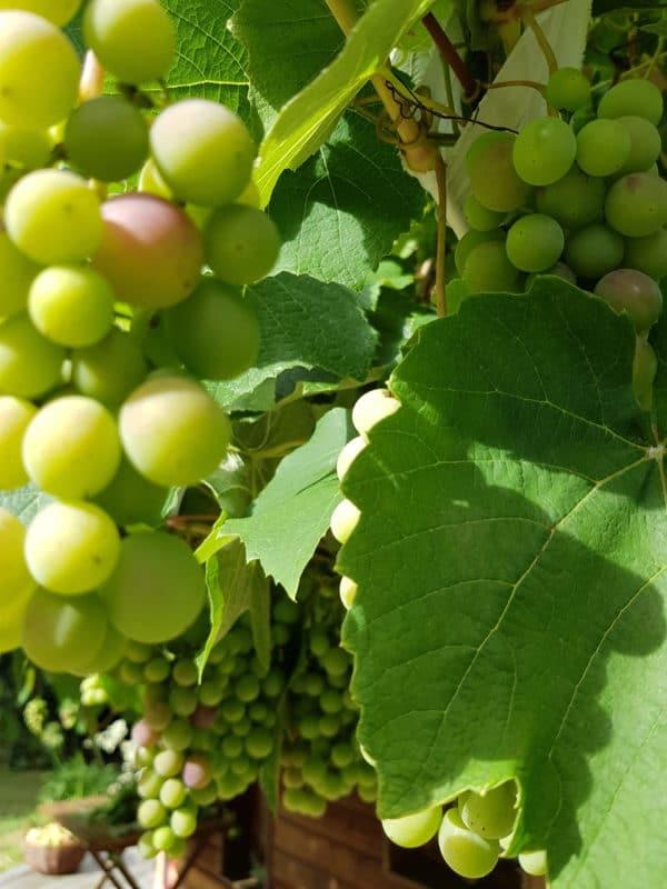 Cure de raisin Maiwenn Naturopathe