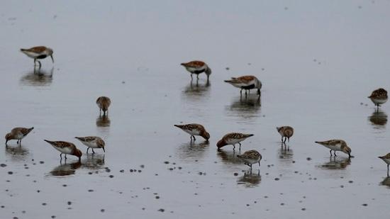North Korea  As habitats vanish, migratory birds flock to Pyongyang's shores