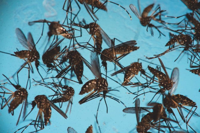 Aedes aegypti mosquitoes, responsible for transmitting Zika,
