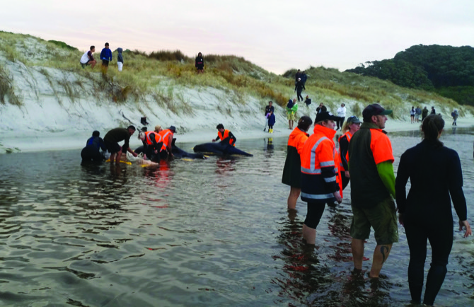 One pygmy whale remains alive after others beach again