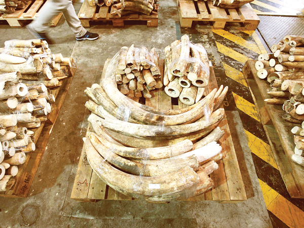Customs seize 34 kg of ivory disguised as 'chocolate bars'