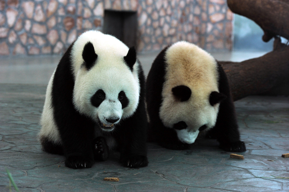 China choose two pandas to be send to Macau as a gift from Beijing