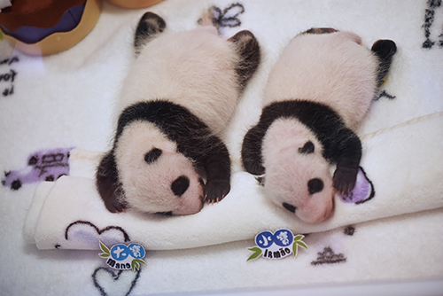 Macau's panda twins grow well