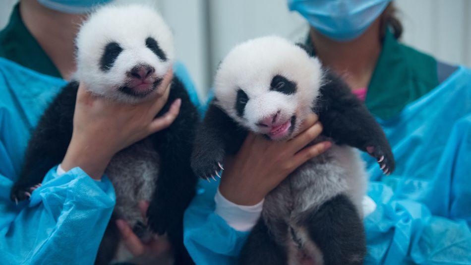 Macau government to celebrate panda twins' 100-day birthday