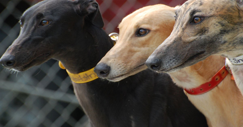 300 greyhounds have dental disease: IACM
