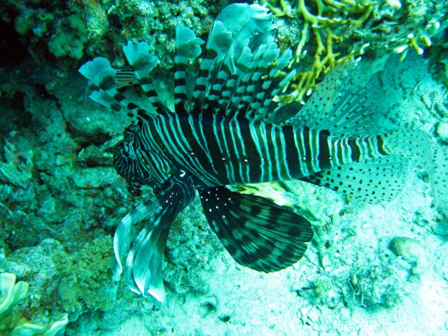 A black and white lion fish