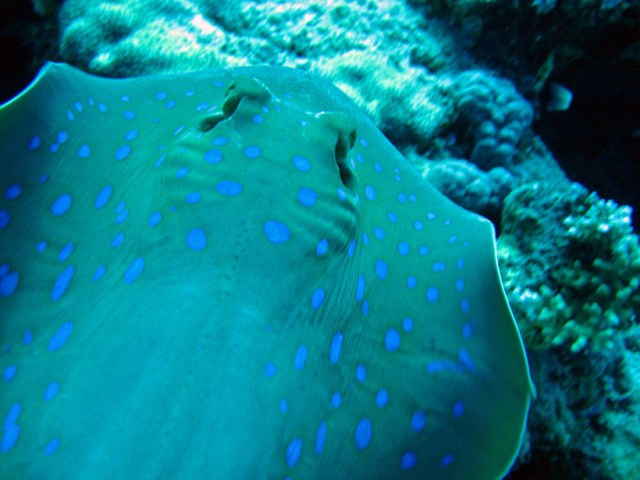 A close up of a blue spotted stingray