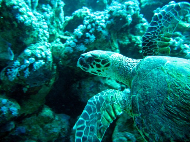 A green turtle in the Red Sea