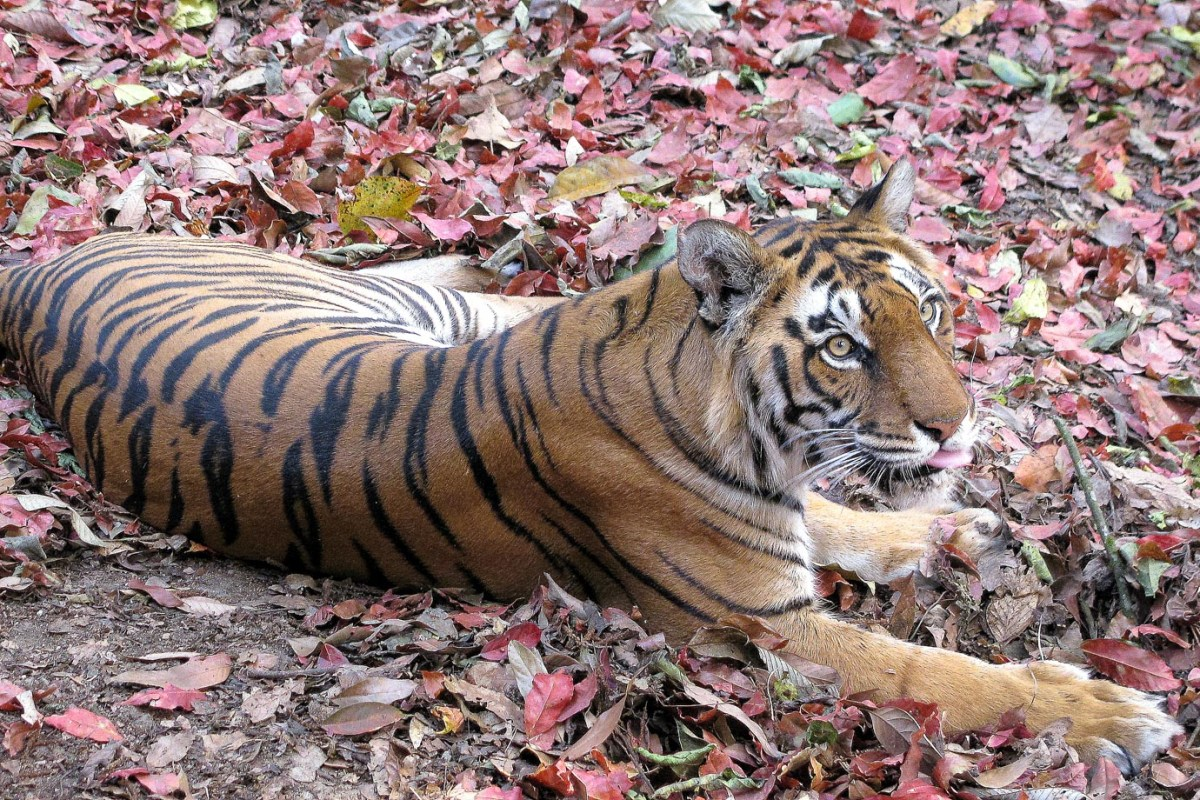 A bengal tiger in India