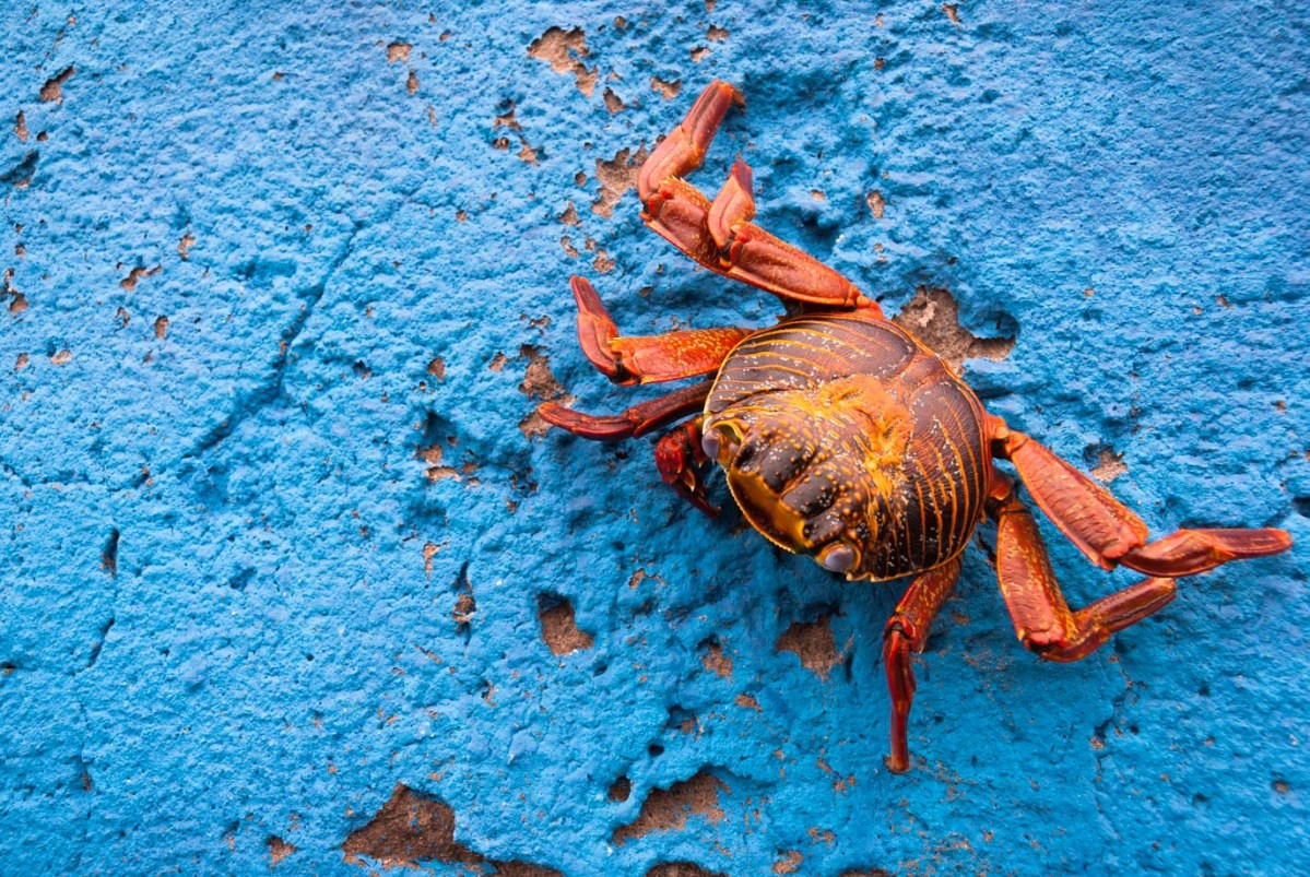 A crab on the Galapagos Islands