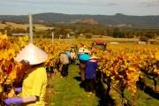 30_h_wine harvest