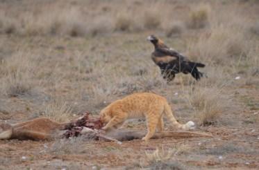 iconic australia_wedgetailed eagle waits on feral cat at kangaroo carcass