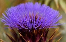 prickly purple