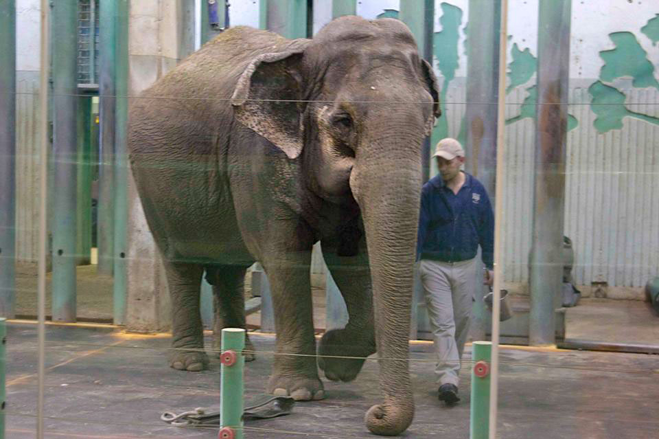 Lucy the elephant going through one of her daily checks with a handler at the Edmonton Valley Zoo.