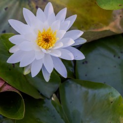 Water Lily at Kennilworth Gardens in southeast Washington DC