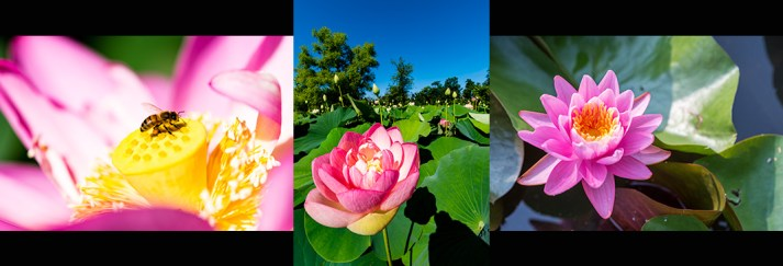 Nature Images: Water Lilies, Lotus flowers and bees