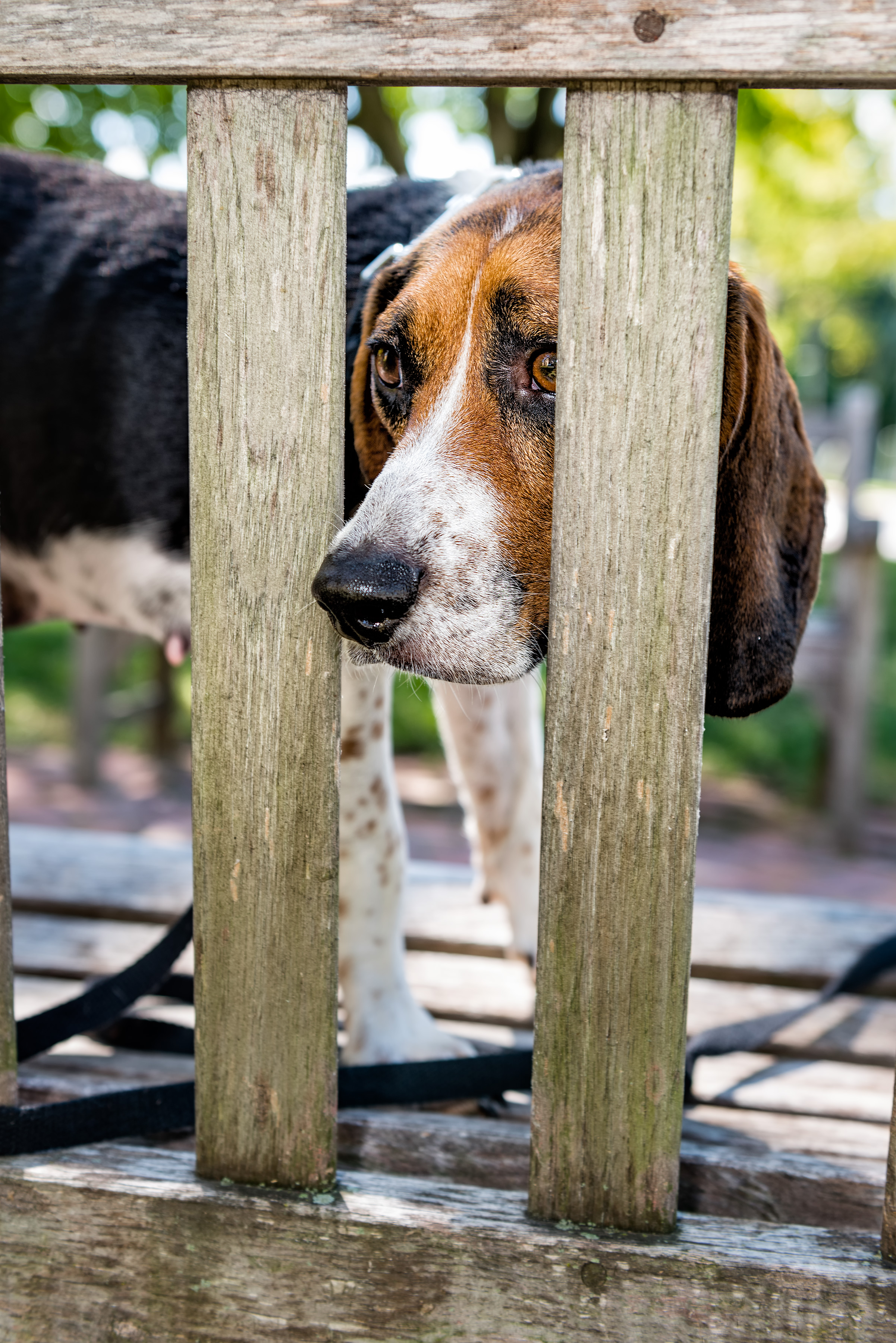 Rescue Dog Beagle mix, Ellery, looks through the slats of a park bench