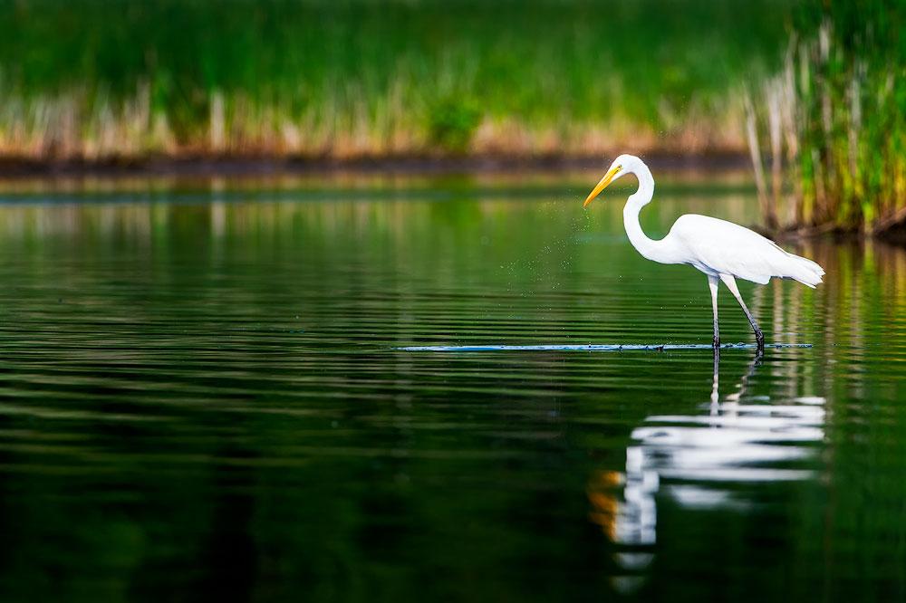Great Egret, Blackwater NWR