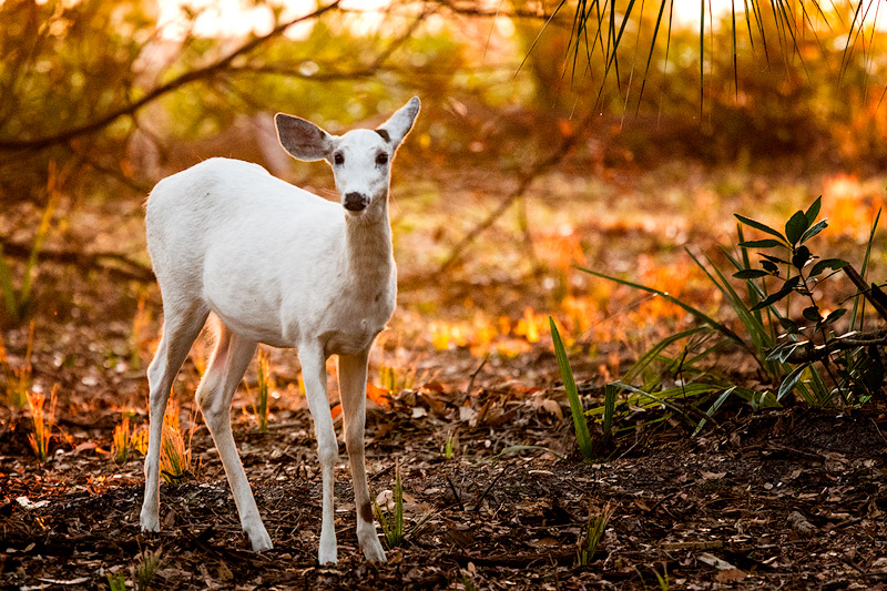 Cumberland Island – Piebald Deer