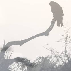 Cumberland Island – Black Vulture Under Fog