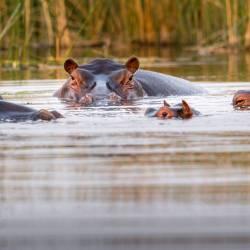 Botswana hippopotamus pod