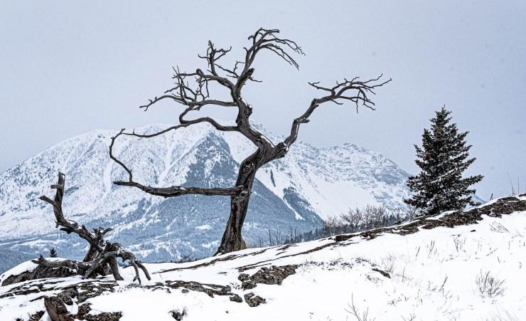 Burmis Tree in Crow's Nest Pass