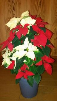 もうすぐクリスマスですね。苗から育てたポインセチアです(東舘・女性)
