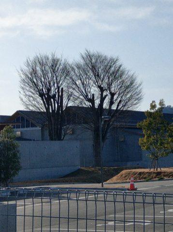旧東舘小学校から残るケヤキの大木。周りの景色は変わっても、変わらない風情があります(東舘・女性)