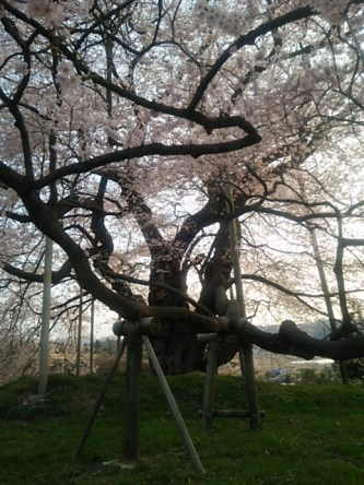 戸津辺の桜・夕景(中石井・女性)