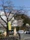 役場前の桜が早くも咲いてました(東舘・女性)