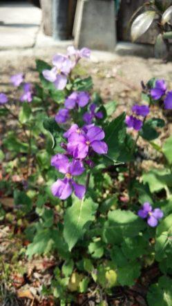 大根の花、と家で入っています。種がこぼれて増えてくれて、きれいな色の花です(関岡・女性)