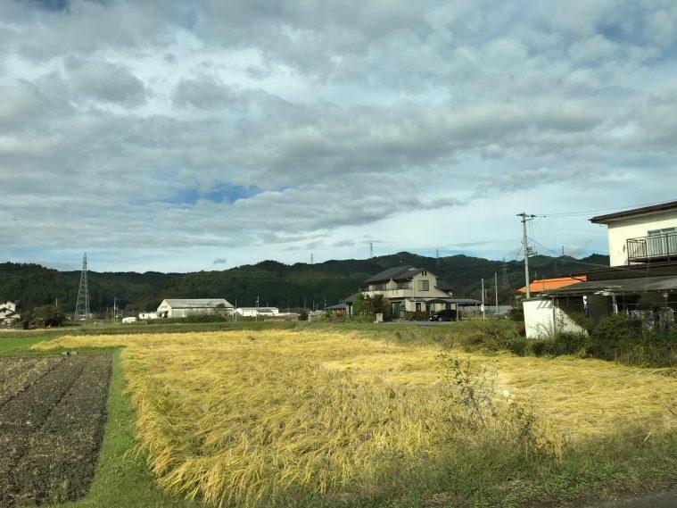 稲刈りを待つ田んぼ(東館・女性)