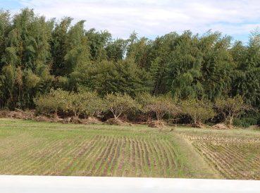 木の根元にまるで誰かが集めたかのよう。竹林の向こうは久慈川です(東舘・女性)