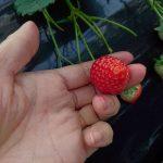 まちしるべ・まちレポ!松戸・古川園・苺の摘み方